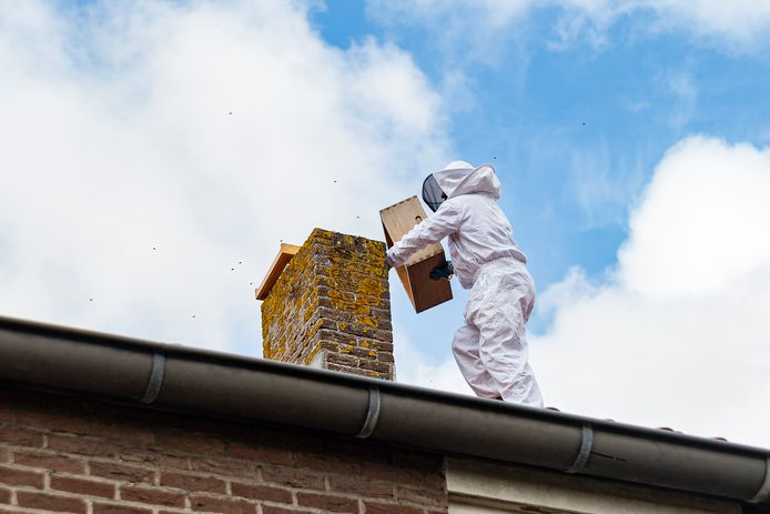 De meeste bijen zijn met rook verjaagd uit de schoorsteen en vliegen buiten rond. De imker plaatst een honingraat met de koningin van het volk in een kast op het dak om de bijen in te verzamelen.