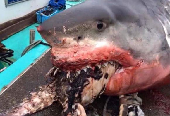 Deze haai stikte in de zeeschildpad die hij probeerde op te eten.
