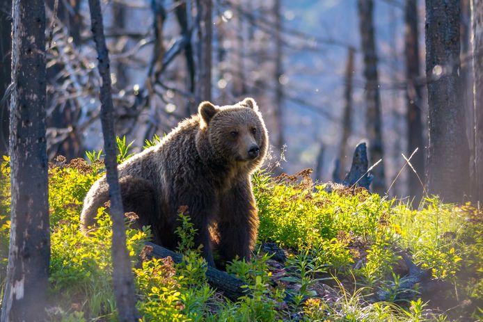 Er leven zo'n 700 grizzlyberen in en rond Yellowstone National Park. Beeld ter illustratie.