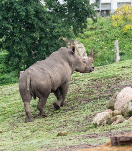 Une femelle rhinocéros tente d'échapper à un mâle et meurt noyée lors d'un essai d'accouplement mené par un zoo