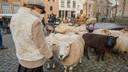 De schapen hebben even rust op het Bergplein.