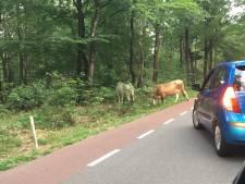 Twee ontsnapte koeien zijn boer telkens te slim af