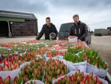 Kwekers in Flevoland raken tulpen niet kwijt: 'Gigantische strop'