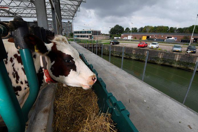 Une photo prise le 30 août 2021 montre des vaches en train de se nourrir dans une ferme laitière flottante dans le port de Rotterdam, une solution future possible à la montée des eaux et au changement climatique.