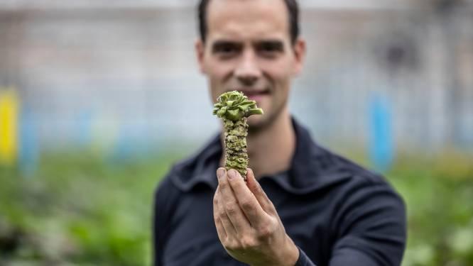 Tuinder Sander kweekt als eerst echte, verse wasabi, het heerlijke goedje voor bij je sushi