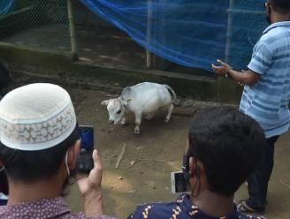 Rani, de 'kleinste koe ter wereld' (51 cm), is een attractie in Bangladesh