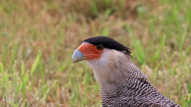 Benno fotografeert bijzondere roofvogel in de Achterhoek: 'Mijn handen trilden'