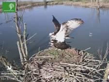 Visarenden in de Biesbosch bouwen na hun eerste 'ruzie' stug door aan hun liefdesnestje