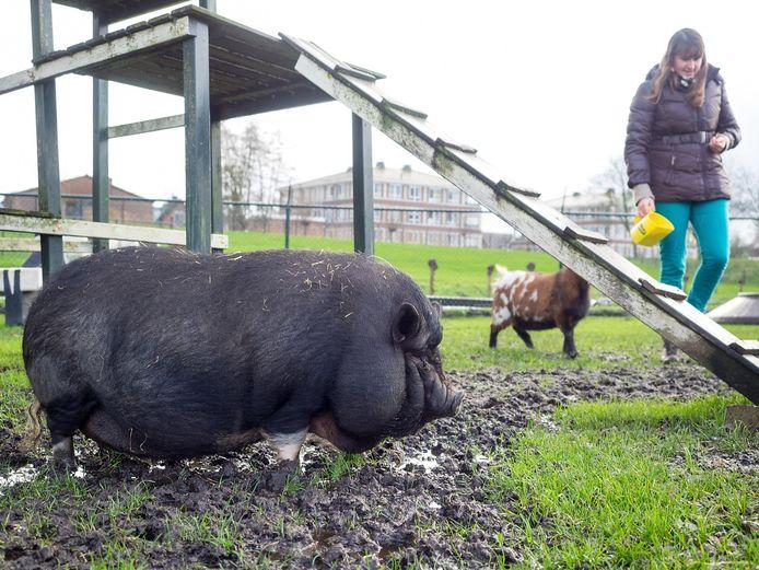 Het te zware hangbuikzwijn wordt voortaan in de gaten gehouden door Eline Spoelder