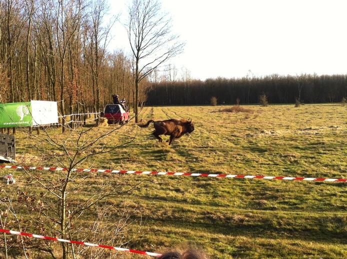 De aankomst van de eerste wisenten op de Maashorst.