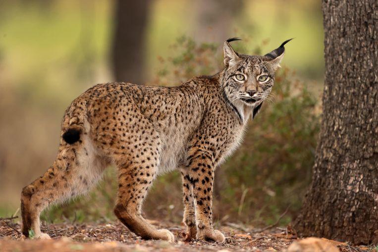 De Iberische lynx had de status 'lokaal uitgestorven' in Portugal.  Beeld Getty Images