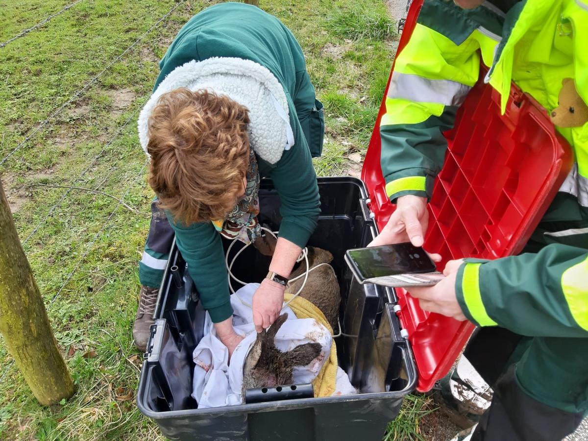Medewerkers van de dierenambulance proberen een hertje te redden.