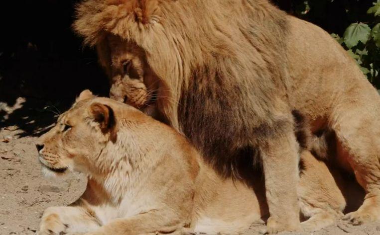 De leeuwen in Artis. Beeld Screenshot