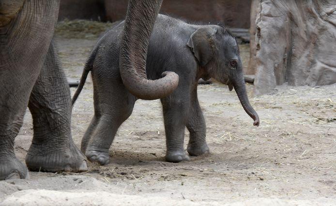 Baby olifantje geboren in Diergaarde Blijdorp.