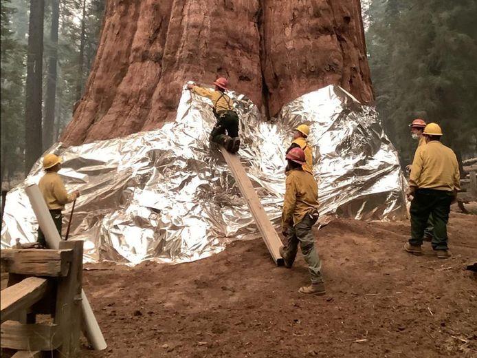 De voet van 's werelds grootste boom, een sequoia genaamd General Sherman, wordt ook ingepakt met folie.