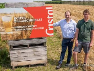 """""""Straks brouwen en drinken we Cristal waarin onze eigen gerst zit"""": boeren die ook bij Alken Maes werken, beginnen met eerste oogst"""