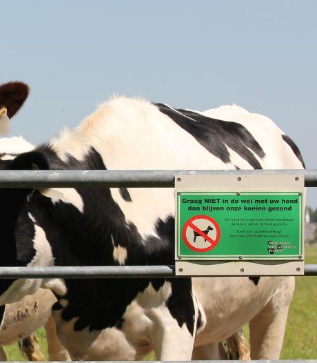 Waarom een onschuldige hondendrol serieus gevaarlijk is voor een koe