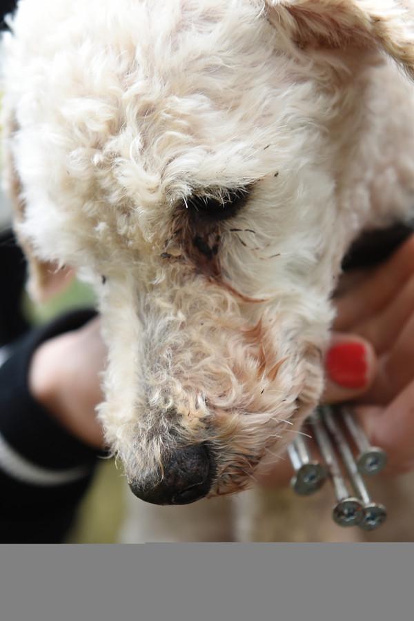 De poedel die door een Limburgse wandelaar in het bos werd gevonden