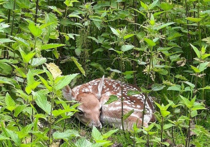 Het eerstgeboren hertje in Park Merwestein, beschut achter brandnetels.