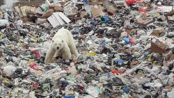 Schrijnend stadsavontuur voorbij: verdwaalde ijsbeer die op afvalberg naar voedsel zocht, gevat