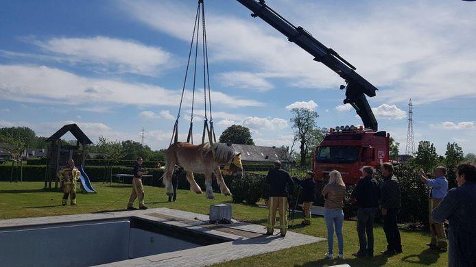 Met de grote hijskraan kon het Brabants trekpaard uit het zwembad gehaald worden.