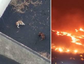 Beelden bewijzen: jachthonden die ingesloten raakten door lava La Palma stellen het goed