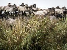 Staatsbosbeheer mag Konikpaarden uit de Oostvaardersplassen naar slacht brengen