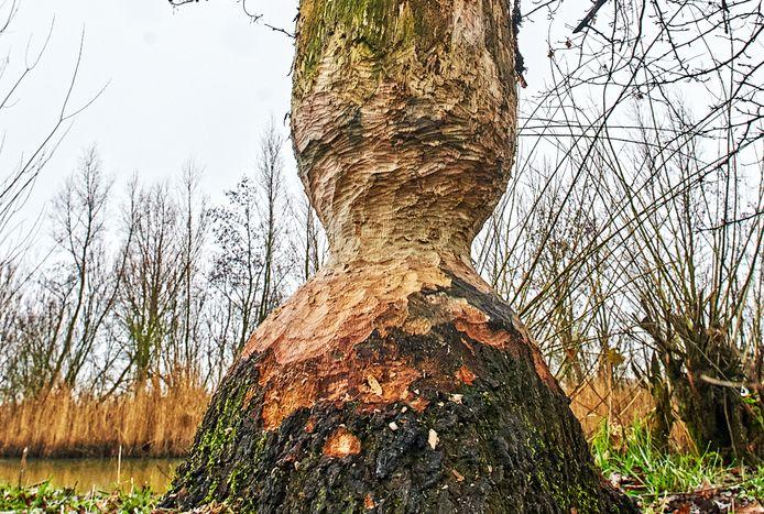 Een boom bij het Ossermeer toonde begin dit jaar al aan dat hier bevers aan het werk zijn geweest.