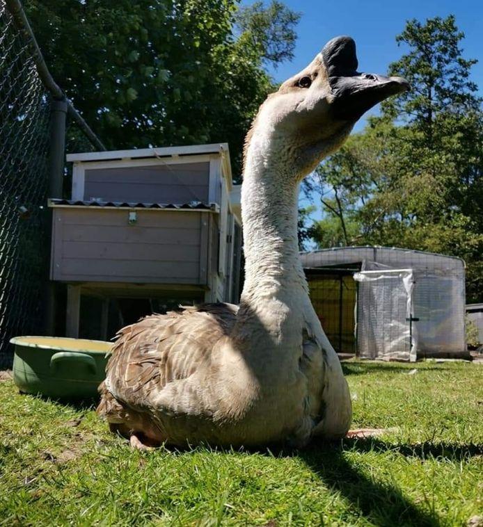 Op de dierenweide achter Het Zonnehuis verblijven vijf schapen, twaalf kippen en twee knobbelganzen.