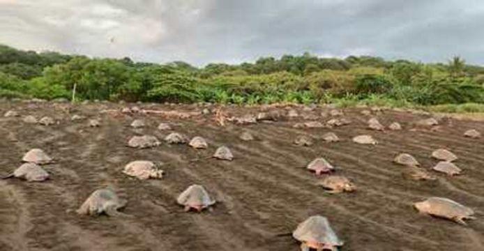 La nidification de centaines de tortues de mer sur une plage du Costa Rica.