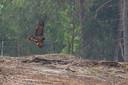 Een zeldzame lammergier werd in mei gezien bij het Overijsselse Ommen