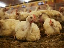 Dit is volgens Wakker Dier het meest leugenachtige kippenbedrijf van Nederland