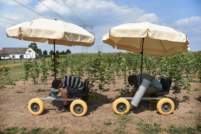 Een boomkweker in Dodewaard heeft parasols bevestigd aan de karretjes die gebruikt worden om boompjes te oculeren.  Beeld null