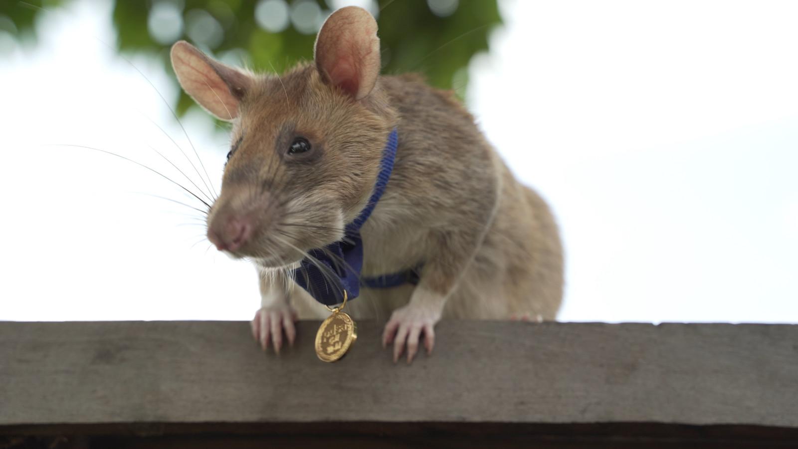 Magawa (7) speurde in Cambodja maar liefst 39 landmijnen op en heeft nu zijn eigen gouden medaille.