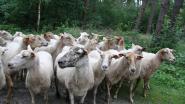 Driehonderd schapen grazen aan Grotenhout