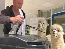 Alpaca's Ohio en Kwint brengen stem uit voor Europese verkiezingen