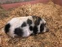 Babette, het hangbuikzwijn dat een nieuwe thuis zocht.
