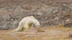 VIDEO: Graatmagere ijsbeer sleept zich voort met laatste krachten terwijl de dood om de hoek loert
