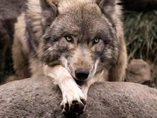 Aangereden wolf kwam uit noorden Duitsland
