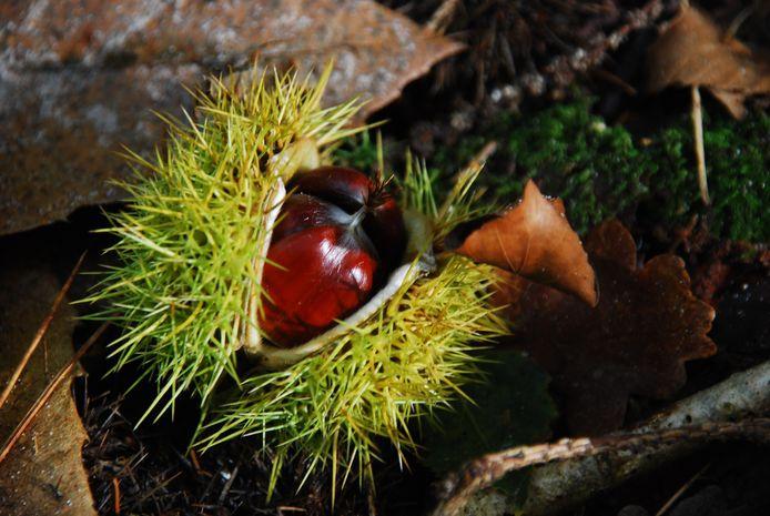 Tamme kastanjes nog in de bolster in het bos bij Leersum.