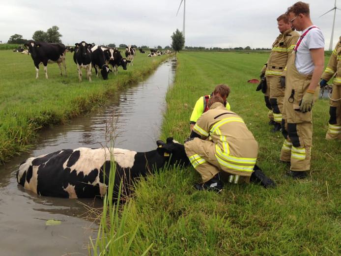 De brandweer probeert de koe uit de sloot te halen aan de Tiendweg in Hardinxveld-Giessendam
