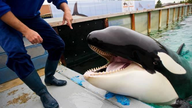 Orka Morgan ondanks voorwaarden tóch in shows dierenpretpark Tenerife: 'Had echt niet gemoeten'