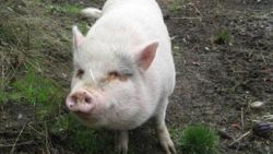 Ophef in Canada: koppel adopteert Molly het zwijntje uit dierenopvang... en eet haar dan op