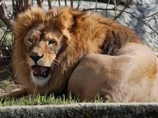 DierenPark Amersfoort verwelkomt leeuw Dukat