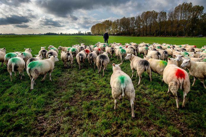 Ton Bouman bij zijn schapen die inmiddels weer zijn gedekt. De diversen kleuren geven aan wanneer dit is gebeurd.