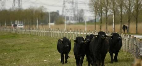 Voor het eerst waterbuffels in natuur vlakbij Amsterdam