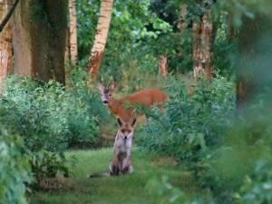 Waanzinnig uniek beeld: vos én ree 'poseren' samen voor de foto in bos in Brasschaat