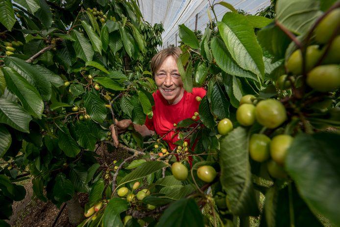 Jolanda Blom van boomgaard Kerkewaerdt laat zien dat de kersen nog niet rood willen worden