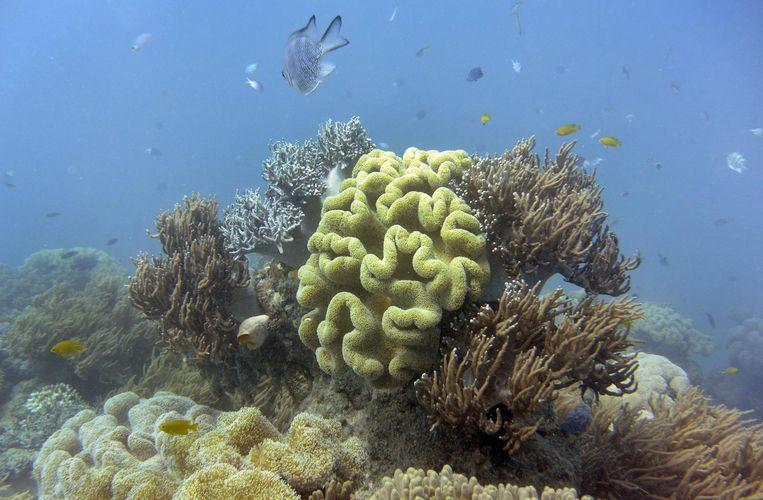 Koraal op het Groot Barrièrerif verbleekt door opwarming van het zeewater. Het rif beschadigt ook door tropische stormen. Beeld afp