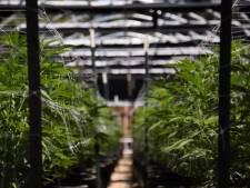 Des centaines de plants de cannabis découverts à Furnes et Boussu